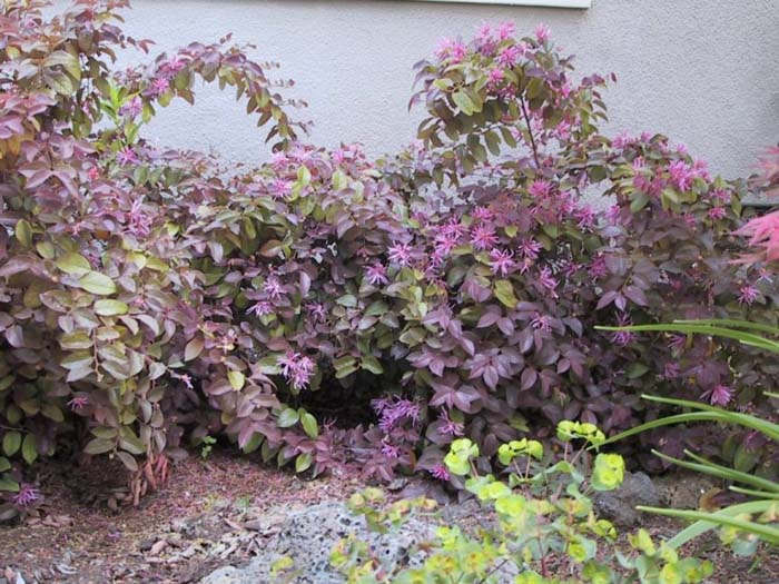 Plant photo of: Loropetalum chinese 'Rubrum'