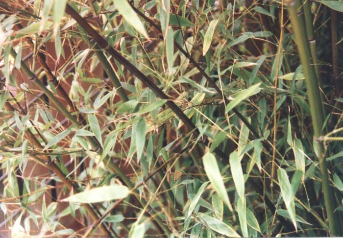 Plant photo of: Phyllostachys nigra