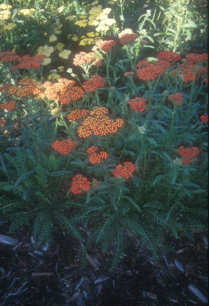 Plant photo of: Achillea 'Walther Funcke'