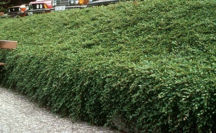 Plant photo of: Cotoneaster dammeri