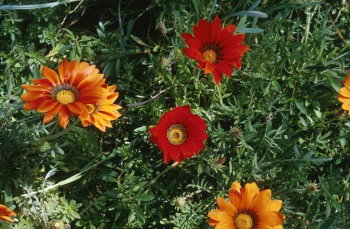 Plant photo of: Gazania species