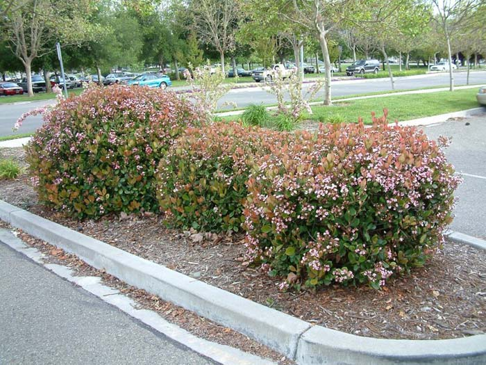 Plant photo of: Abelia X grandiflora