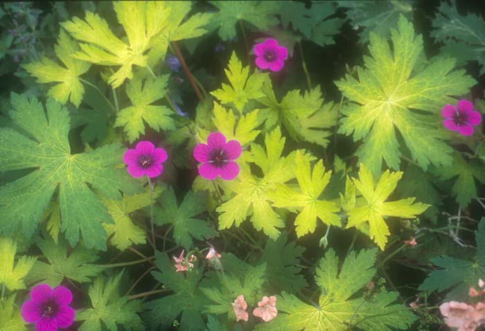 Plant photo of: Geranium 'Anne Folkard'