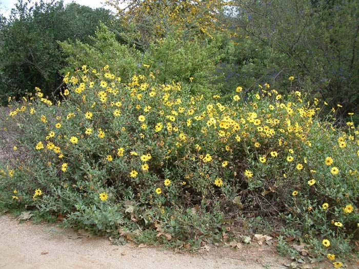 Plant photo of: Encelia californica