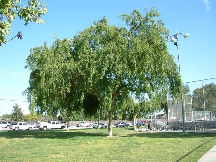 Plant photo of: Ulmus parvifolia