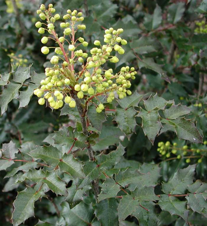 Plant photo of: Mahonia aquifolium