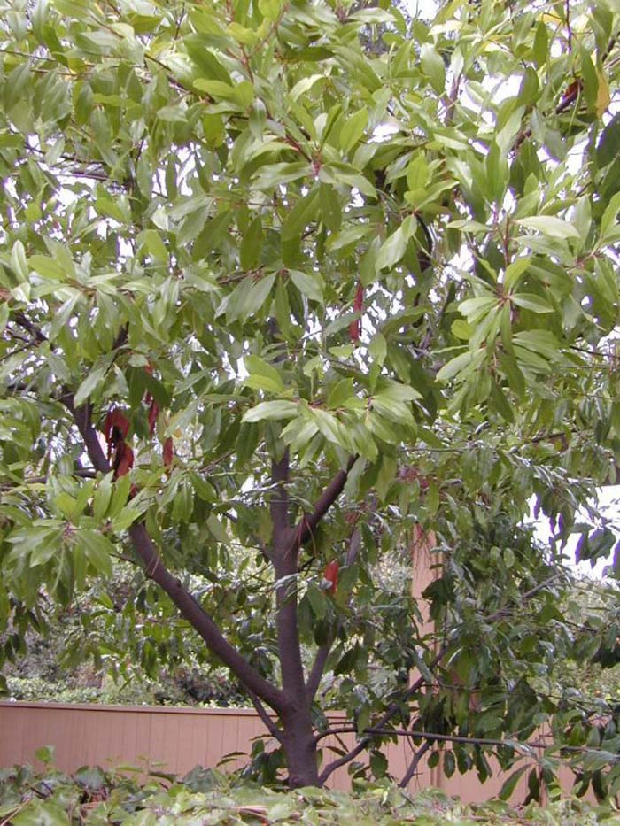 Plant photo of: Prunus caroliniana