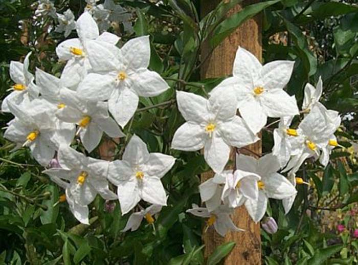 Plant photo of: Solanum jasminoides