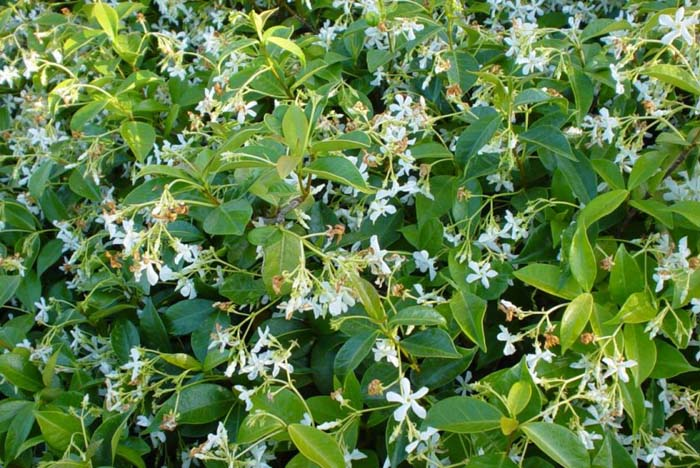 Plant photo of: Trachelospermum jasminoides