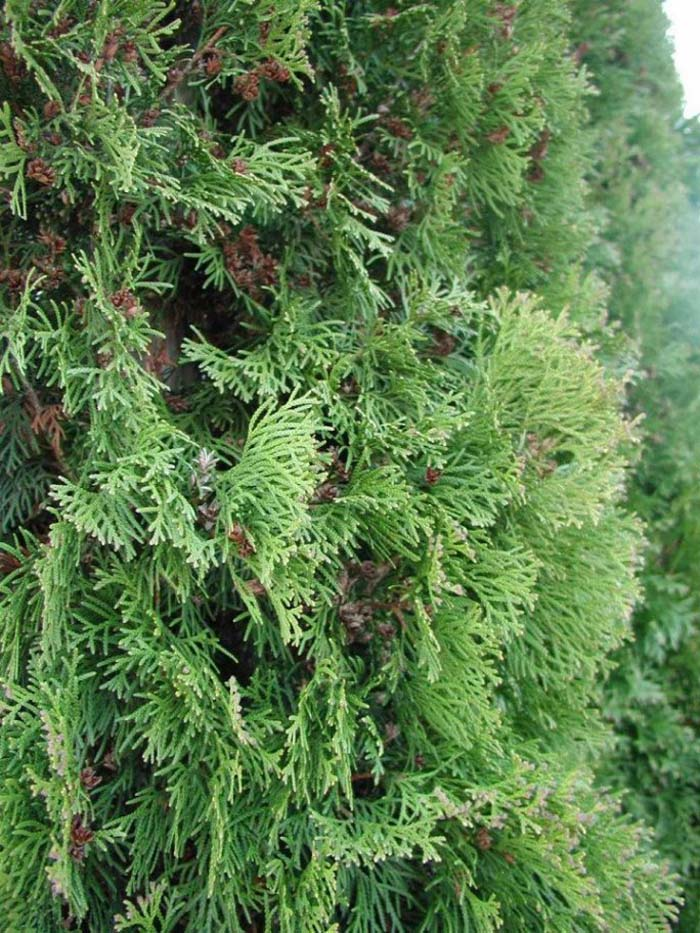Plant photo of: Thuja occidentalis