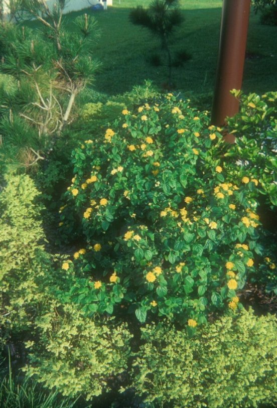 Lantana 'Yellow Bush'