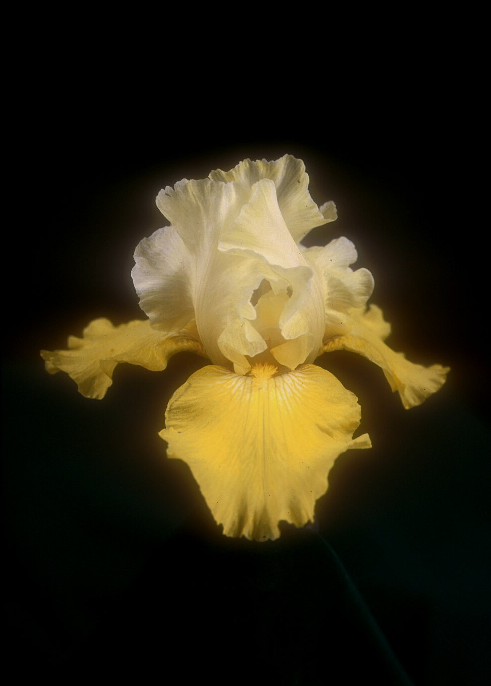 Iris bearded 'Echo De France'