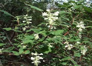 White Flowered Currant