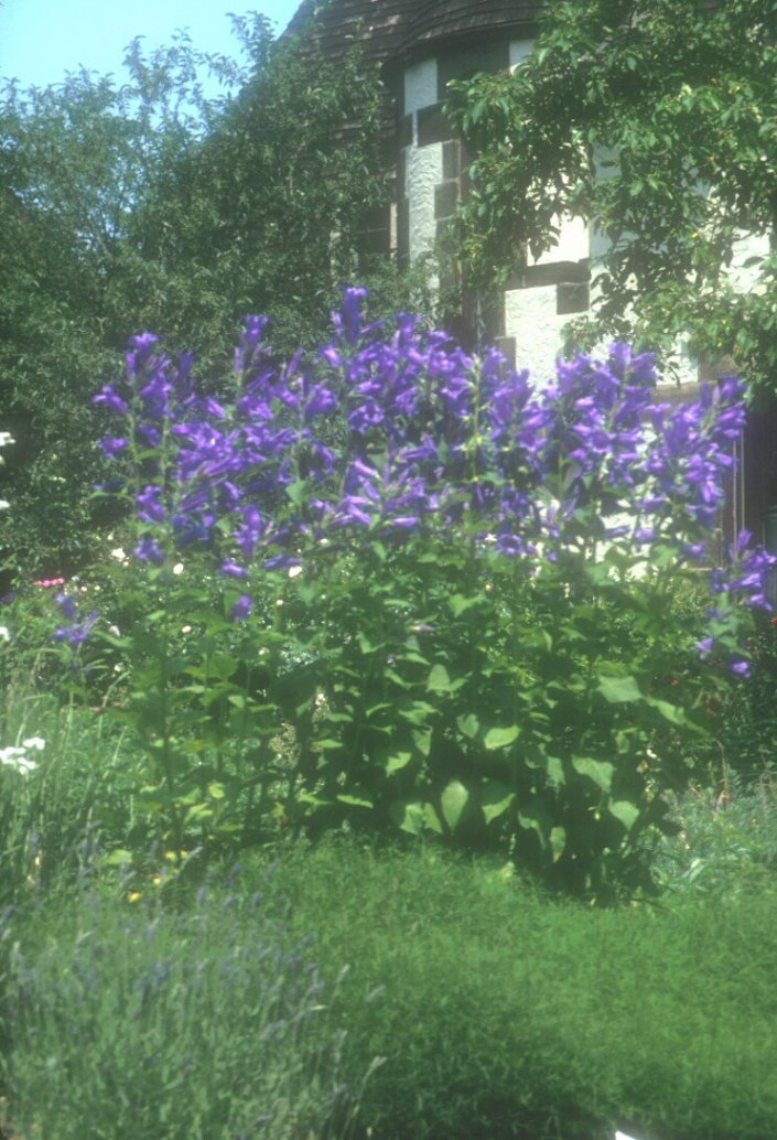 Great Bellflower