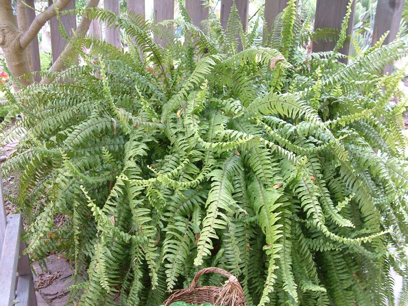 Tropical Sword Fern
