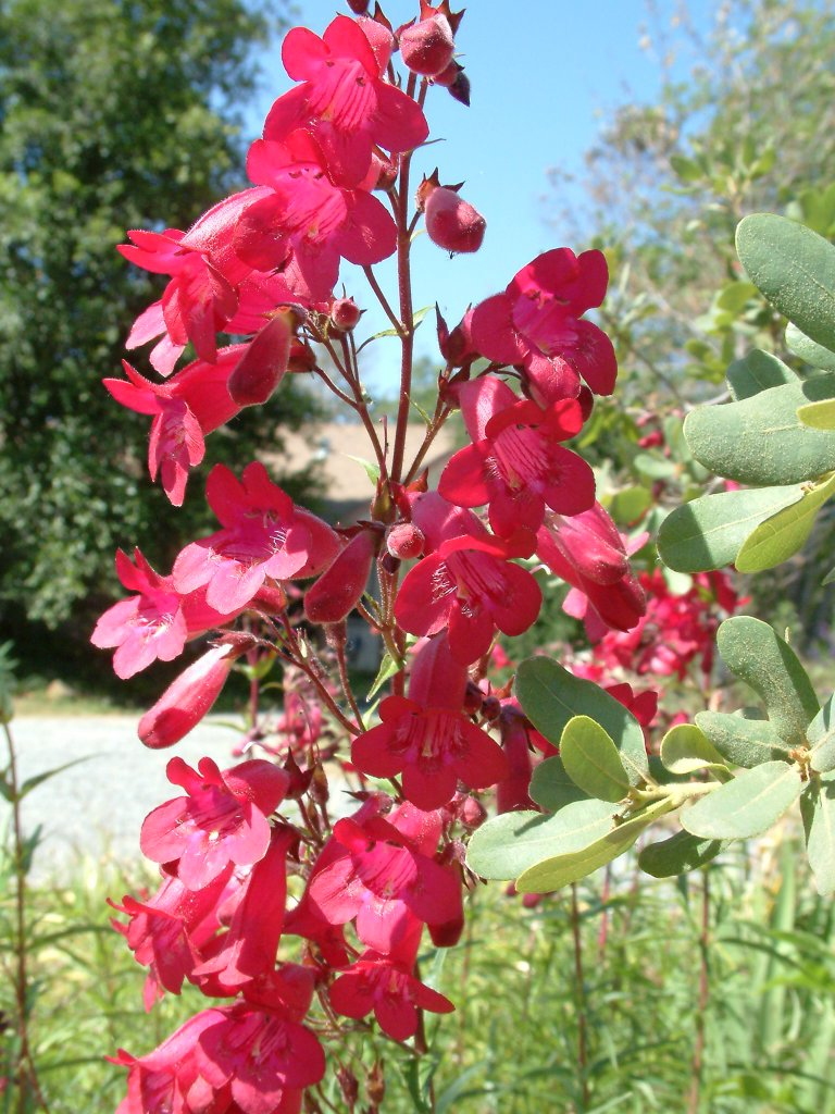 Penstemon X gloxinioides 'Ruby King'