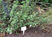 Evergreen Currant