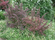 Red Leaf Japanese Barberry